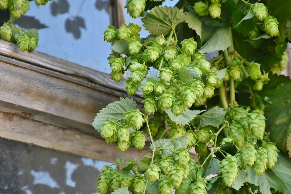 hop-harvest-1596086_960_720